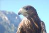 piatră de vultur vultur-Crest-tirolez fermă de animale-bird-Raptor angaht-mânia fermă munte-husky